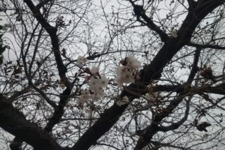 桜の季節ですね‥
